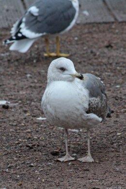 180115 Yellow-legged gull 2w (3)