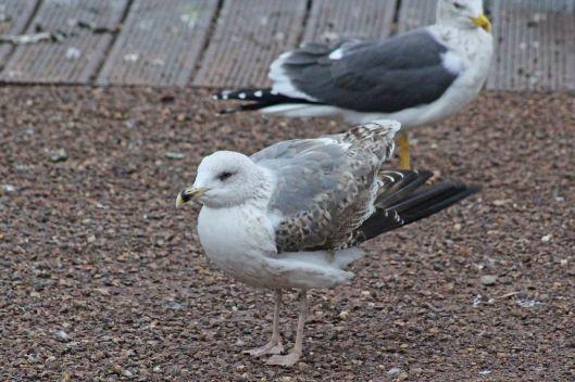 180115 Yellow-legged gull 2w (5)