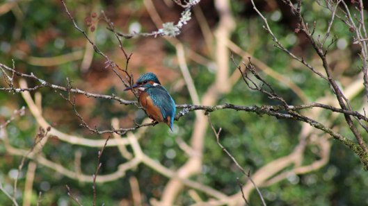180122 Kingfisher (5)