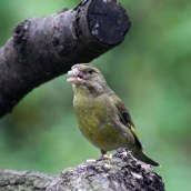 180123 10 greenfinch
