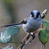180123 11 long-tailed tit