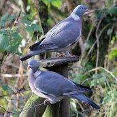 180123 15 woodpigeon
