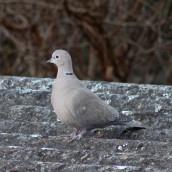 180123 5 collared dove