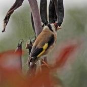180123 7 Goldfinch