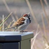 180123 9 house sparrow