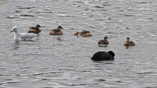 180125 Little grebes (3)