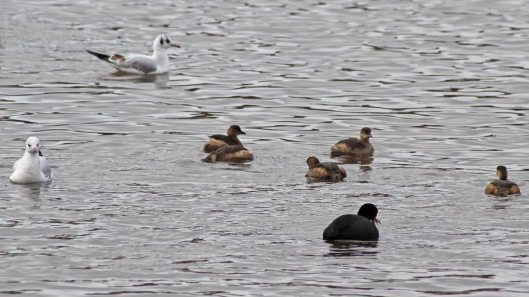 180125 Little grebes (4)
