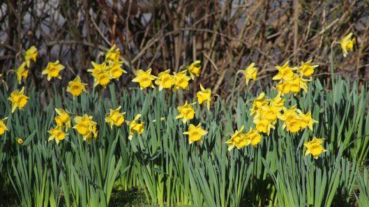 180126 daffodils (1)