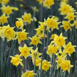 180126 daffodils (2)