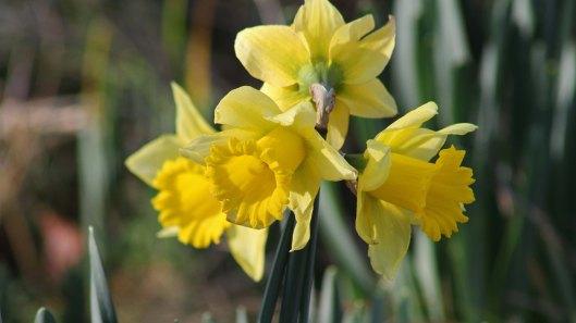 180126 daffodils (3)