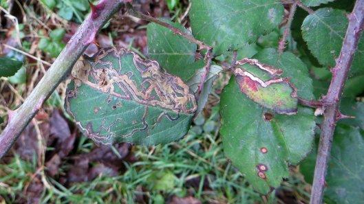 180129 Stigmella aurella on bramble (1)