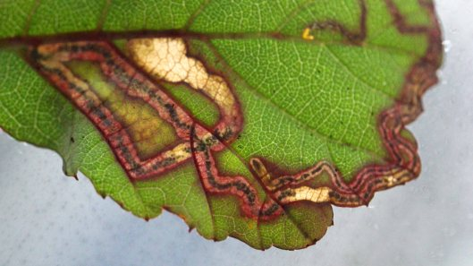 180129 Stigmella aurella on bramble (4)