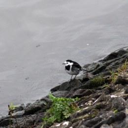 180130 Ely embankment birds (2)