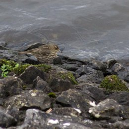 180130 Ely embankment birds (3)