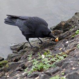 180130 Ely embankment birds (4)