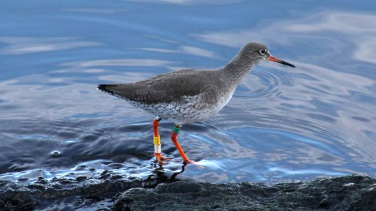 180130 Ely embankment birds (5)