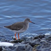 180130 Ely embankment birds (6)