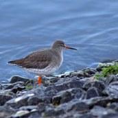 180130 Ely embankment birds (7)