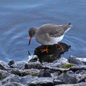 180130 Ely embankment birds (8)