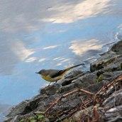 180130 Ely embankment birds (9)