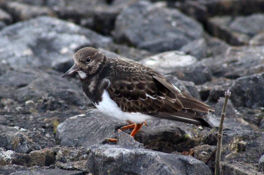 180130 Ely embankment birds