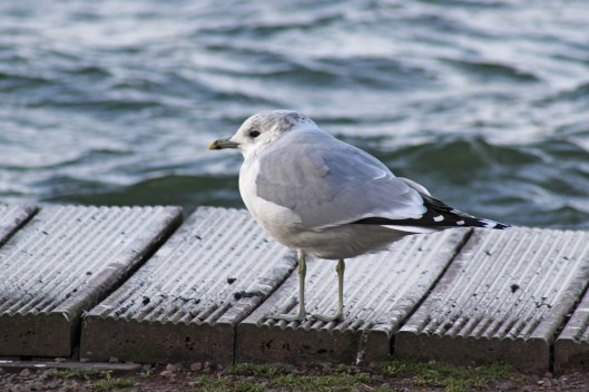 180201 10 Common gull