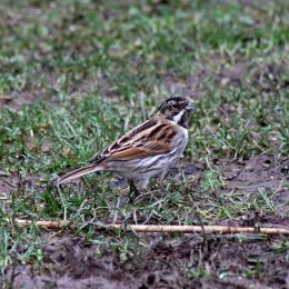 180201 2 Reed bunting