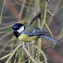 180201 5 Great tit