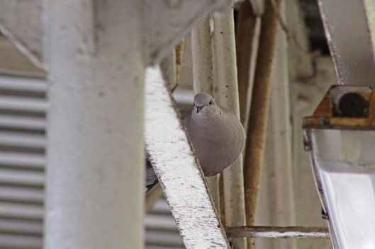180203 Collared dove