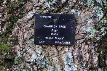 180208 Mono maple (3)