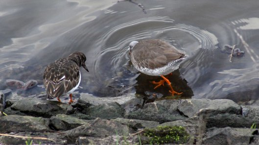180215 turnstone and redshank (1)