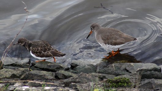 180215 turnstone and redshank (3)