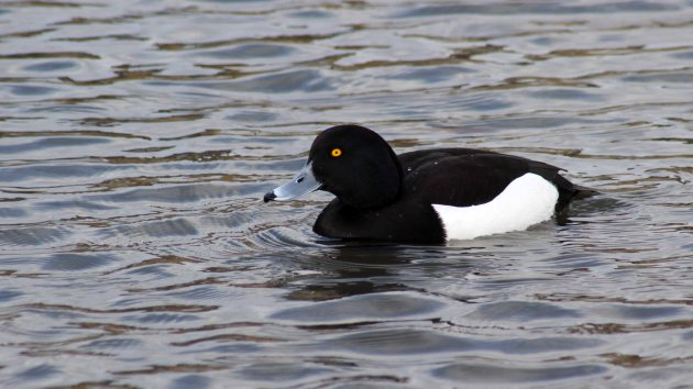 26 Tufted duck