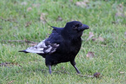 3 leucistic crow
