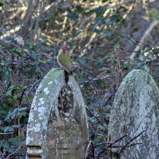 40 Green woodpecker