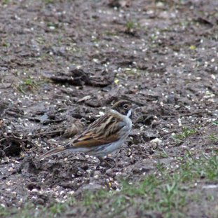 55 Reed bunting