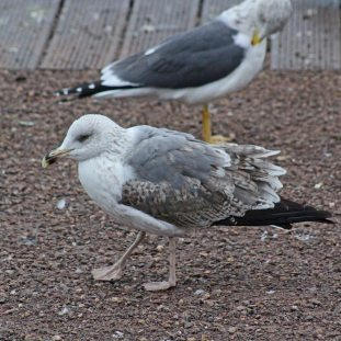 56 Yellow-legged gull
