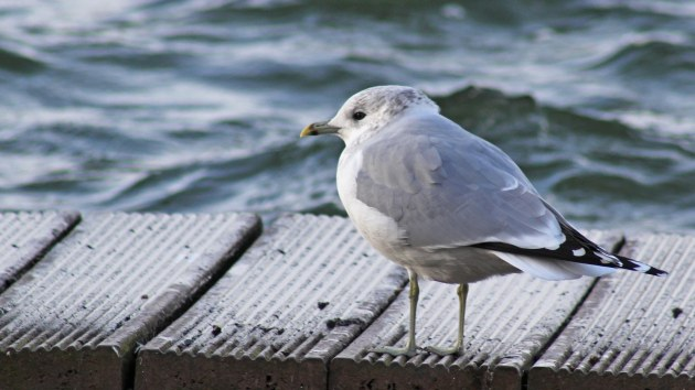 64 Common gull