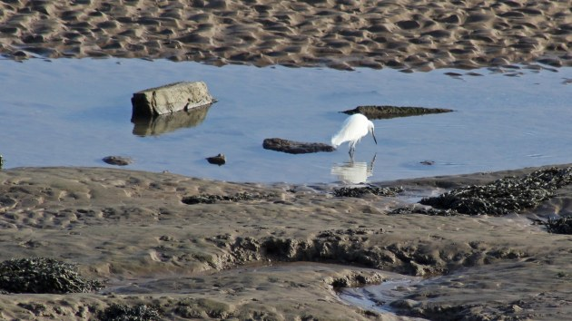 69 Little egret