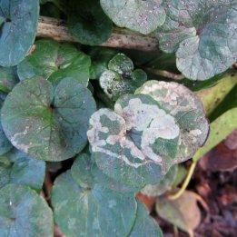 180210 Phytomyza ranunculi (6)