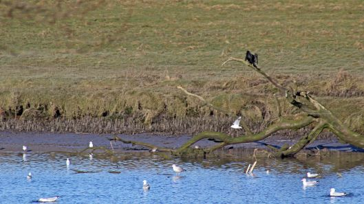 180211 Birding at Ogmore & Kenfig (1)