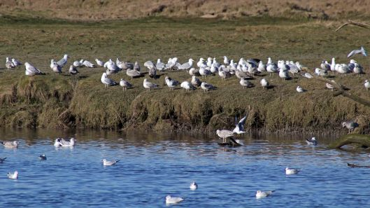 180211 Birding at Ogmore & Kenfig (3)