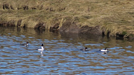 180211 Birding at Ogmore & Kenfig (4)