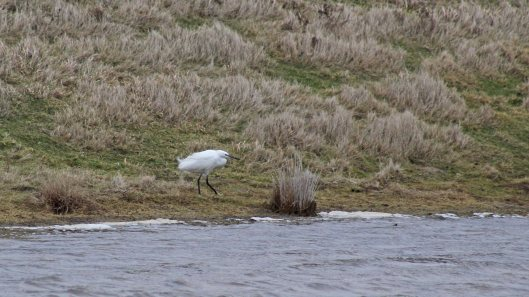 180222 Little egrets (1)