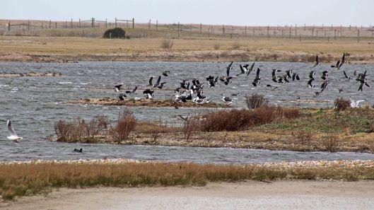 180227 Rye Harbour birds (2)