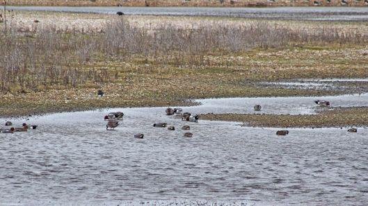 180227 Rye Harbour birds (4)