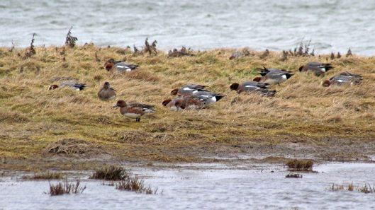 180227 Rye Harbour birds (5)