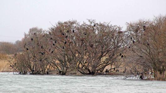 180227 Rye Harbour birds (6)