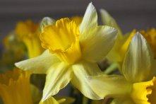 180301 daffodils (2)