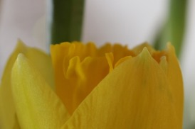 180301 daffodils (3)